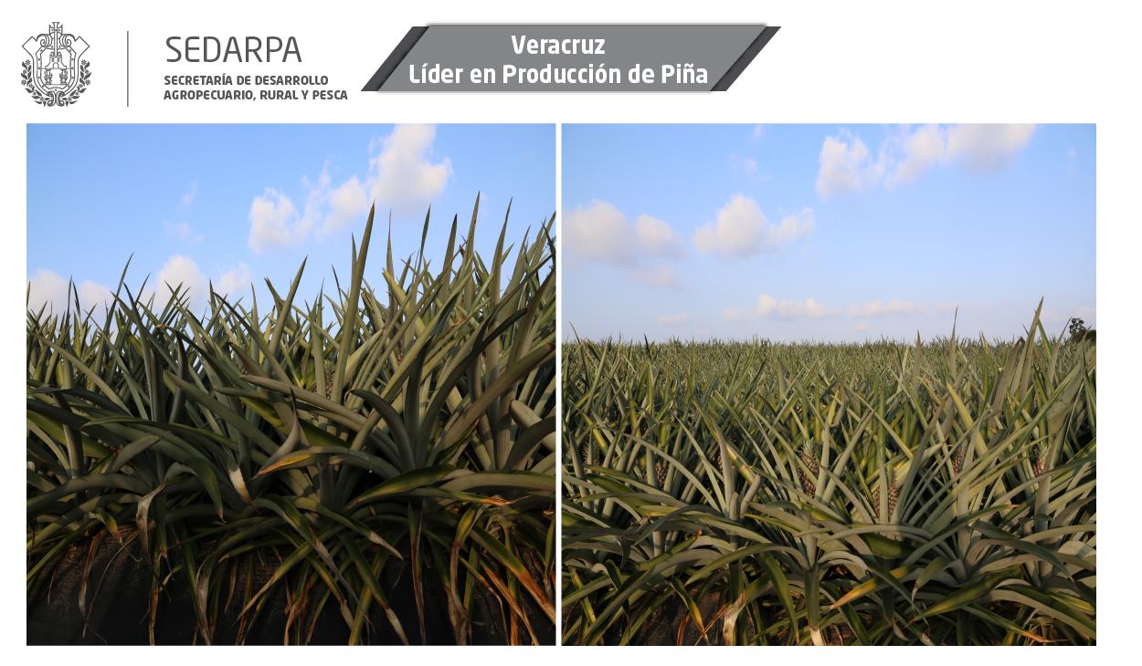 Veracruz lider piña