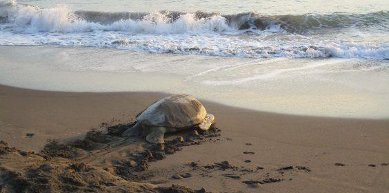 Refuerzan SEDEMA y SSP vigilancia por anidación de tortugas en playas de Nautla y Vega de Alatorre